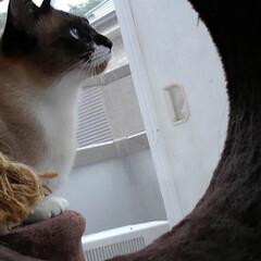 仲良し/姉弟/キャットタワー/シャム猫/白黒猫/フォロー大歓迎/... キャットタワーの トンネルの中から覗いた…