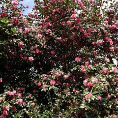 山茶花/お出かけ/フォロー大歓迎 お出かけ先の赤、白の山茶花 見事な大木で…