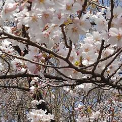 春/桜 うー君の桜が満開になってました(2枚目)