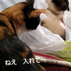 猫のいる暮らし/姉妹猫/にゃ~同好会 昨日の瑠月と紗羅(3枚目)
