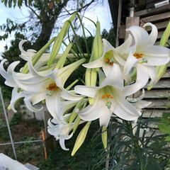 畑/百合の花/おでかけ/おでかけワンショット 畑の乳母ユリが咲きました⚜️ すぐそばで…(1枚目)