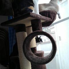 仲良し/姉弟/キャットタワー/シャム猫/白黒猫/フォロー大歓迎/... キャットタワーの トンネルの中から覗いた…(3枚目)