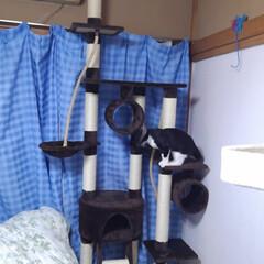 猫/お手伝い/キャットタワー/フォロー大歓迎/にゃんこ同好会/夏のお気に入り 去年8ヶ月になった頃 二階のキャットタワ…(8枚目)