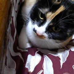 三毛猫 昨日 おこた作り直して 紗羅がすぐしたこ…