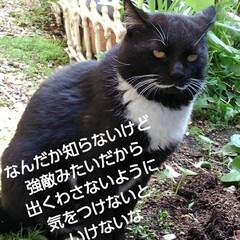 猫のいる生活/白黒猫/にゃんこ同好会/にゃんこ日めくり おはようございます🙀 サムト君がパトロー…(4枚目)
