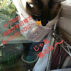 リミアペット同好会/猫/姉弟/昼寝/リミアの冬暮らし 午前中、居間のこの場所は お日様が差し込…(4枚目)