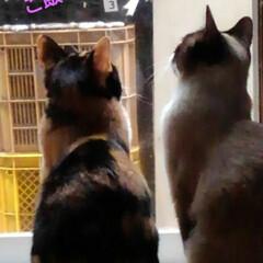 猫のいる暮らし/姉妹猫 ご飯の時にサムト君が降りてないと まるで…