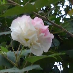 風景/秋の花/お出かけ/フォロー大歓迎 お出かけ先の方が 芙蓉だと言ってました …