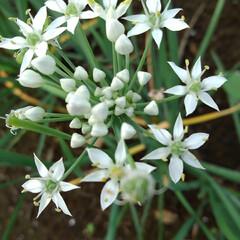 畑/百合の花/おでかけ/おでかけワンショット 畑の乳母ユリが咲きました⚜️ すぐそばで…(5枚目)
