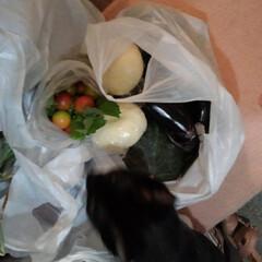 畑/酒饅頭/夏野菜/おでかけ/フォロー大歓迎/夏のお気に入り/... 今日の収穫物の確認をする三匹  カボチャ…(2枚目)