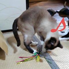 猫のいる暮らし/ねこ/にゃんこ同好会 新しいおもちゃで遊んでもらい ご満悦の3…(7枚目)