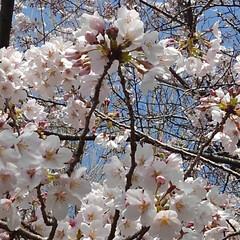 春/桜 うー君の桜が満開になってました(3枚目)