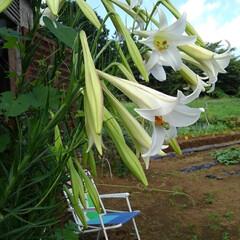 風景 畑にある百合の花  これは夏の終わりに咲…(1枚目)