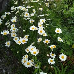 花のある生活/風景 地主さんのマーガレット 満開で綺麗に咲い…