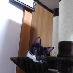 猫/お手伝い/キャットタワー/フォロー大歓迎/にゃんこ同好会/夏のお気に入り 去年8ヶ月になった頃 二階のキャットタワ…(5枚目)