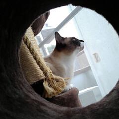 仲良し/姉弟/キャットタワー/シャム猫/白黒猫/フォロー大歓迎/... キャットタワーの トンネルの中から覗いた…(2枚目)