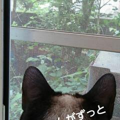 猫のいる生活/にゃんこ同好会/猫の気持ち るっちゃんが買い物帰った頃から ずっと窓…