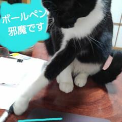 白黒猫/猫のいる生活/にゃんこ同好会/にゃんこ日めくり おはようございます 雪の朝です 予想通り…(2枚目)
