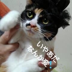 帽子/三毛猫/にゃんこ同好会/フォロー大歓迎 沙羅も帽子 被らされる(2枚目)