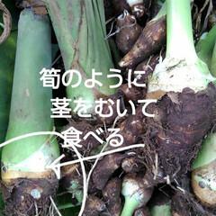 「今年は珍しい里芋作りました 「タケノコ芋…」(4枚目)