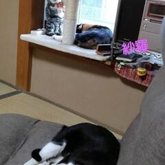 ペット/猫/昼寝/三姉弟/仲良し/フォロー大歓迎/... 良く寝る3にゃんず