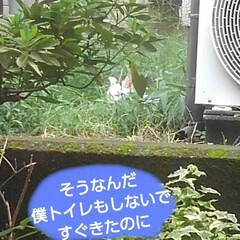 リミアペット同好会/猫/シャム/フォロー大歓迎 すれ違いに待っていた 可愛いカップルの待…(8枚目)