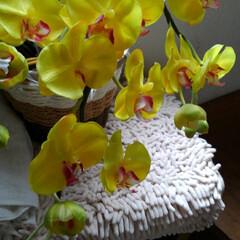 夏のお気に入り/猫/シャム/フォロー大歓迎/にゃんこあ/光触媒の花 胡蝶蘭は見た  瑠月の お父さんのお待ち…
