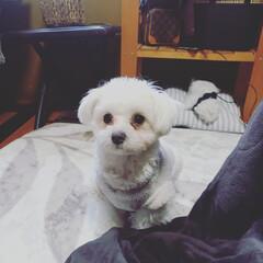 チワマル/チワマルmix犬 かまってほしい時の表情。可愛い❤️