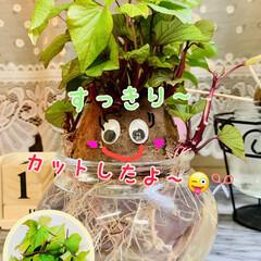 さつま芋🍠/水栽培/お家でもオシャレ 🌱水栽培🌱  さつま芋🍠のポテっちくん …