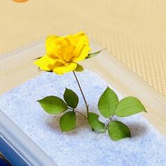 シリカゲル/ドライフラワー作り/黄色の小薔薇 やっと眠りから覚めました〜^ ^ 今日で…
