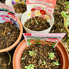 種まき 先日ダイソーさんでお花🌼🌸の種を購入して…(3枚目)