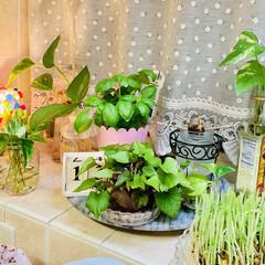 水栽培/お家でもオシャレ 大変〜😱💦💦💦 キッチン前が畑になっちゃ…