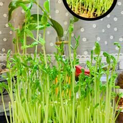 豆苗/水栽培/お家でもオシャレ 🌱水栽培豆苗🌱 こちらもポテっちくんに負…