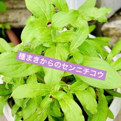 咲いて来た/センニチコウ/種蒔きからの栽培/ダイソー good morning🌱  朝から猛暑…(2枚目)