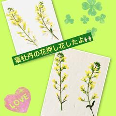 芝桜/ノースポール/パンジー/ビオラ/白菜の花/葉牡丹の花/... 今日は、 葉牡丹の花と庭に植えてる白菜の…(1枚目)