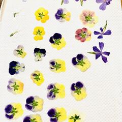 芝桜/ノースポール/パンジー/ビオラ/白菜の花/葉牡丹の花/... 今日は、 葉牡丹の花と庭に植えてる白菜の…(4枚目)