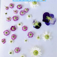 ドライ/押し花/かすみ草/マトリカリア/オキザリス/パンジー/... 3日前にお花を全部積んだのに 今日は、お…