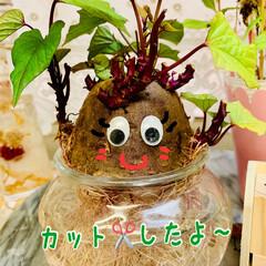 さつま芋🍠/水栽培/商品紹介/商品レビュー/オススメ商品/辛口評価/... 葉っぱを切ってもどんどん伸びて来て ちっ…