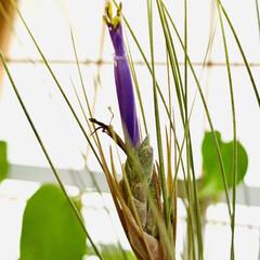 ナチュラル/暮らし/おうち時間/テイスト/ナチュラルな暮らし/お花が咲きました/... good morning🌱  今朝👀見た…(3枚目)