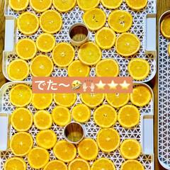 フードドライヤー/オレンジ/ドライフルーツ/ハンドメイド/手作り/ハンドメイド作品/... さっき輪切りにしたオレンジ🍊を  私の相…(1枚目)