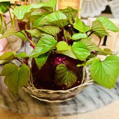 さつま芋🍠/水栽培 さつま芋🍠4日目🌱 物凄い葉っぱ😱💦💦💦…