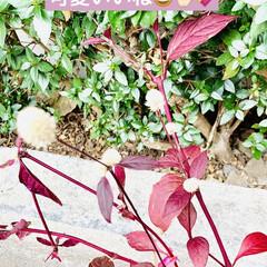 やっと見つけた/植物/苗木/アルナンテラレッドフラッシュ/アカバセンニチコウ 赤いセンニチコウ 👀み〜つけた🤣🤣🤣🙌🏻…(5枚目)