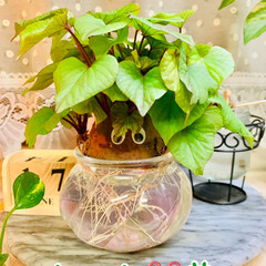 さつま芋🍠/水栽培/お家でもオシャレ 🌱水栽培🌱  さつま芋🍠のポテっちくん …(4枚目)