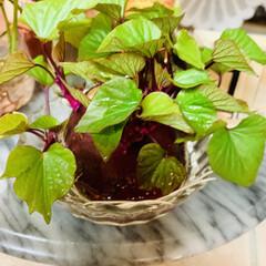 さつま芋🍠/水栽培 さつま芋🍠4日目🌱 物凄い葉っぱ😱💦💦💦…(2枚目)
