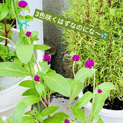 ガーデニング/センニチコウ/種蒔きからの栽培/インテリア/プチプラ/インテリア術/... ダイソーさんの2袋¥100の センニチコ…(2枚目)