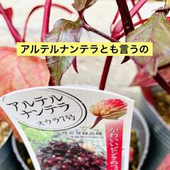 やっと見つけた/植物/苗木/アルナンテラレッドフラッシュ/アカバセンニチコウ 赤いセンニチコウ 👀み〜つけた🤣🤣🤣🙌🏻…(3枚目)