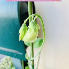 開花/スイトピー/種蒔きからの栽培 昨日、種蒔きからの スイトピーのお花がや…(2枚目)