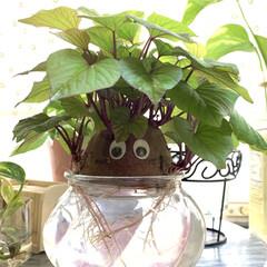 さつま芋🍠/水栽培/お家でもオシャレ さつま芋🍠の水栽培が もっと楽しくなるよ…(2枚目)