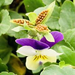 種初収穫/ビオラ お花🌼🌸のお手入れをしていたら😱💦  ビ…