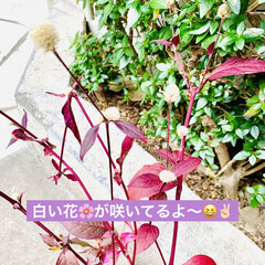 やっと見つけた/植物/苗木/アルナンテラレッドフラッシュ/アカバセンニチコウ 赤いセンニチコウ 👀み〜つけた🤣🤣🤣🙌🏻…(4枚目)